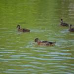 Les canards