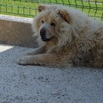 Chien : Chow Chow