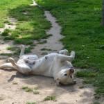 Le coin des calins - Labradors